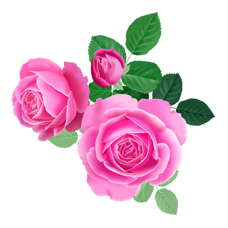 Pink rose. Isolated bouquet garden flower on white background. Realistic vector illustration art. Decoration for packaging products for beauty and health, cosmetics, flower shops and markets. Vintage. Illustration