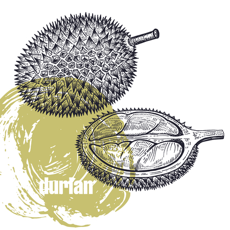 Durian. Realistic vector illustration of fruit isolated on white background. Hand drawing sketch. Design for package of health and beauty natural products. Vintage black and white engraving