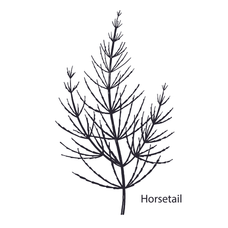 Realistic medical plant Horsetail. Vintage engraving. Vector illustration art. Black and white. Hand drawn of herb. Alternative medicine series.
