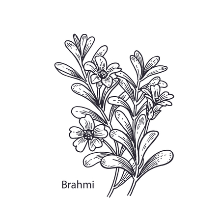 Realistic medical plant Brahmi. Vintage engraving. Vector illustration art. Black and white. Hand drawn of flower. Alternative medicine series.