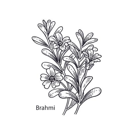 Realistic medical plant Brahmi. Vintage engraving. Vector illustration art. Black and white. Hand drawn of flower. Alternative medicine series. Stock fotó - 101893362