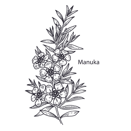 Realistic medical plant Manuka. Vintage engraving. Vector illustration art. Black and white. Hand drawn of flower. Alternative medicine series. Ilustrace