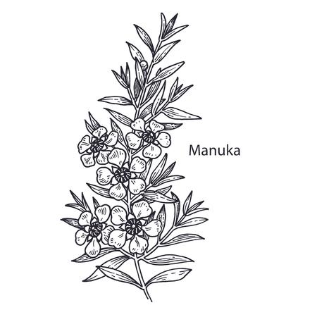 Realistic medical plant Manuka. Vintage engraving. Vector illustration art. Black and white. Hand drawn of flower. Alternative medicine series. Illustration