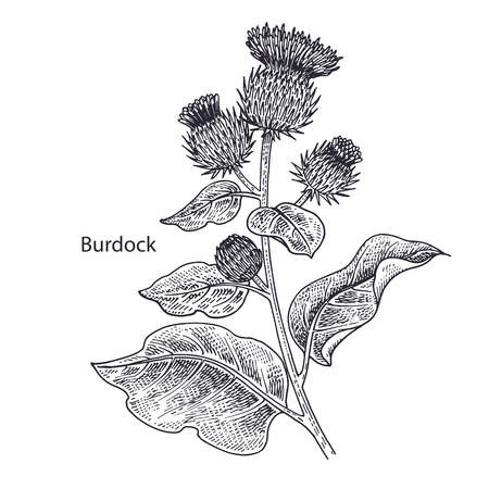 Realistic medical plant Burdock. Vintage engraving. Vector illustration art. Black and white. Hand drawn of flower. Alternative medicine series.