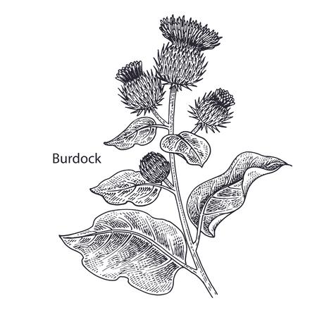 Realistic medical plant Burdock. Vintage engraving. Vector illustration art. Black and white. Hand drawn of flower. Alternative medicine series.