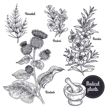Realistic medical plant Horsetail, Brahmi, Manuka, Burdock. Vintage engraving. Vector illustration art. Black and white. Hand drawn of flower. Alternative medicine series. Ilustração