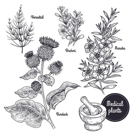 Realistische medicinale plant Paardestaart, Brahmi, Manuka, Burdock. Vintage gravure. Vector illustratie art. Zwart en wit. Hand getrokken van bloem. Alternatieve geneeswijzen.