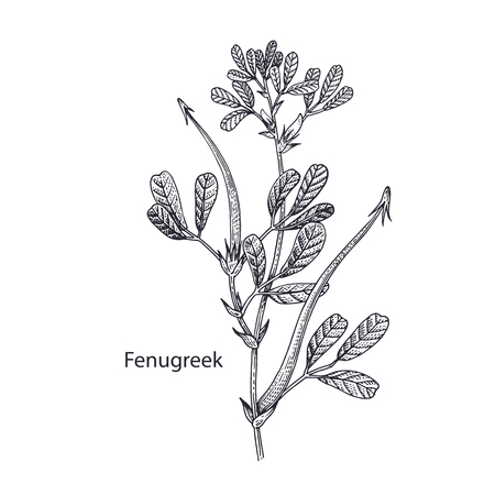 Realistic medical plant Fenugreek. Vintage engraving. Vector illustration art. Black and white. Hand drawn of flower. Alternative medicine series.