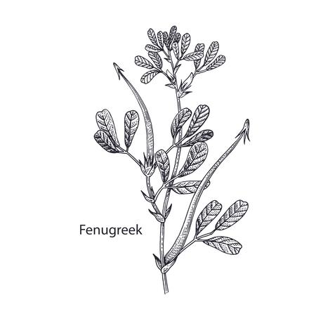 Realistic medical plant Fenugreek. Vintage engraving. Vector illustration art. Black and white. Hand drawn of flower. Alternative medicine series.