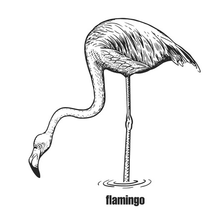 Flamingo. Hand drawing of bird from wild. Black figure on white background. Vector illustration. Vintage engraving style. Realistic isolated figure of bird with large beak, long neck and legs. Nature