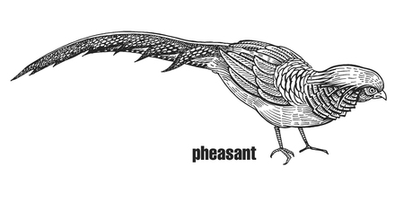 Pheasant. Hand drawing of bird from wild. Black figure on white background. Vector illustration. Vintage engraving style. Realistic isolated figure of bird with beautiful plumage. Nature concept.