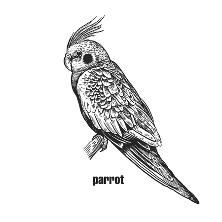 Parrot with crest and pink cheeks. Realistic bird isolated on white background. Hand drawing of bird from wild. Black and white . Vector illustration. Vintage engraving style. Nature concept