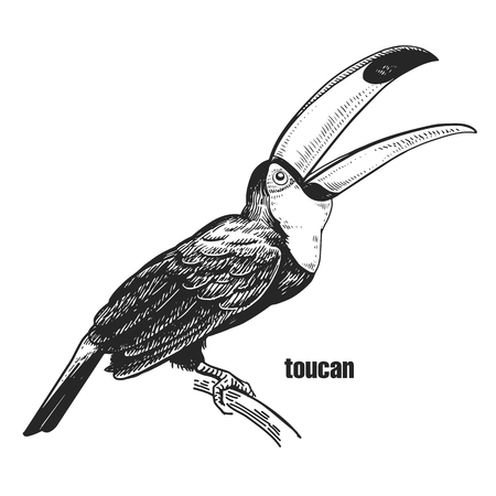 Toucan. Hand drawing of bird from wild. Black figure on white background. Vector illustration. Vintage engraving style. Realistic isolated figure of tropical bird with large beak. Nature concept.