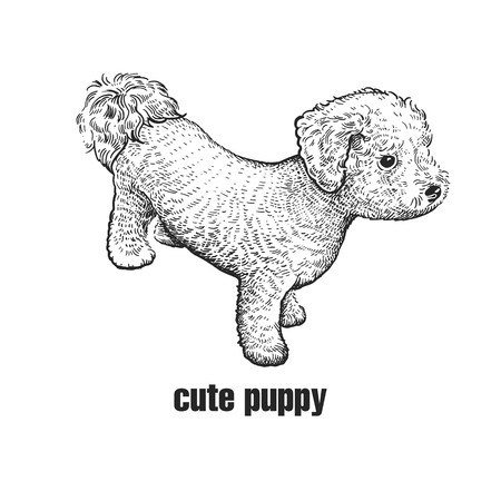 Cute puppy bichon frize. Home pet isolated on white background. Sketch. Vector illustration art. Realistic portrait of animal in style vintage engraving. Black and white hand drawing of dog.