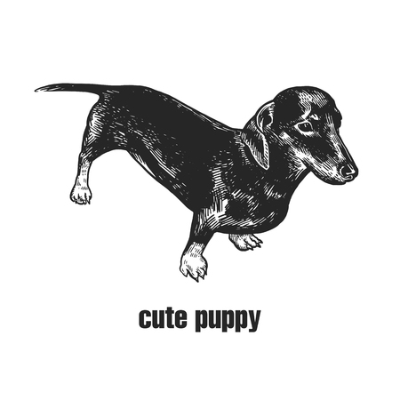 Cute puppy. Home pet isolated on white background. Sketch. Vector illustration art. Realistic portrait of animal in style vintage engraving. Black and white hand drawing of dachshund dog.