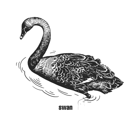 Black Swan. Hand drawing of bird from wild. Black figure on white background. Vector illustration. Vintage engraving style. Realistic isolated figure of waterfowl bird with long neck. Nature concept Illustration