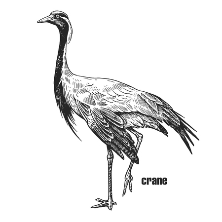 Crane. Hand drawing of bird from wild. Black figure on white background. Vector illustration. Vintage engraving style. Realistic isolated figure of bird with crown on his head. Nature concept
