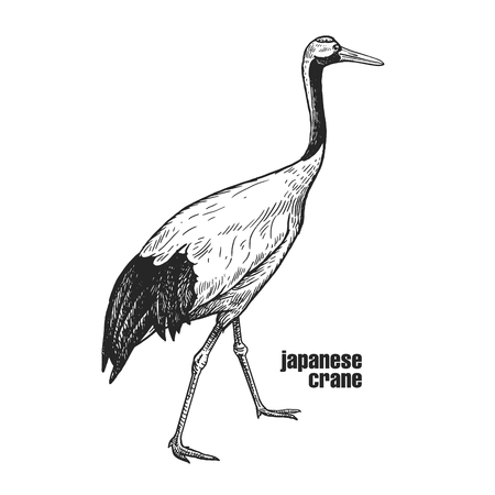 Japanese crane. Hand drawing of bird from wild. Black figure on white background. Vector illustration. Vintage engraving style. Realistic isolated figure of bird with long neck. Nature concept Illustration