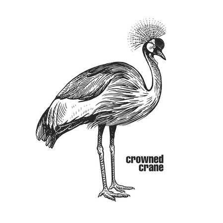 Crowned crane. Hand drawing of bird from wild. Black figure on white background. Vector illustration. Vintage engraving style. Realistic isolated figure of bird with crown on his head. Nature Illustration