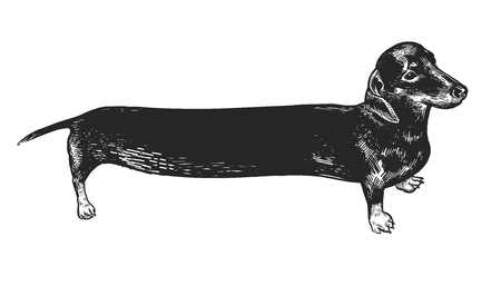 Dachshund long dog. Cute puppy. Home pet isolated on white background. Sketch. Vector illustration art. Realistic portrait of animal in style vintage engraving. Black and white hand drawing. Illustration