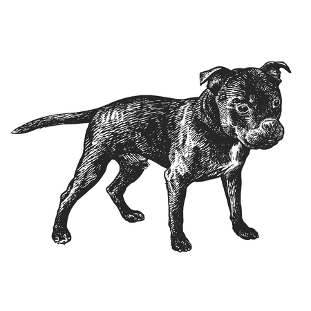 Cute puppy. Home pet isolated on white background. Sketch. Vector illustration art. Realistic portrait of animal in style vintage engraving. Black white hand drawing of Staffordshire Bull Terrier dog