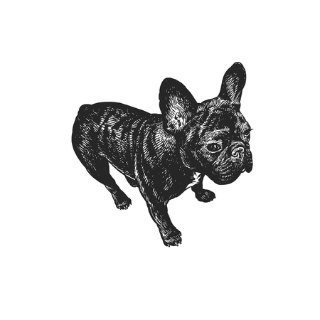 Cute puppy. Home pet isolated on white background. Sketch. Vector illustration art. Realistic portrait of animal in style vintage engraving. Black and white hand drawing of French Bulldog dog.