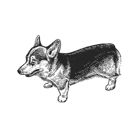 Cute puppy. Home pet isolated on white background. Sketch. Vector illustration art. Realistic portrait of animal in style vintage engraving. Black and white hand drawing of dog breed corgi.
