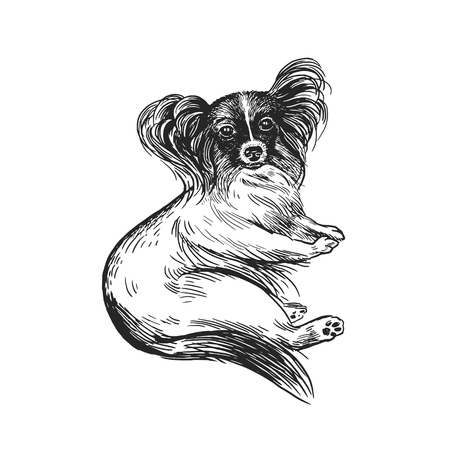 Cute puppy. Home pet isolated on white background. Sketch. Vector illustration art. Realistic portrait of animal in style vintage engraving. Black and white hand drawing of dog breed papillon. Illustration