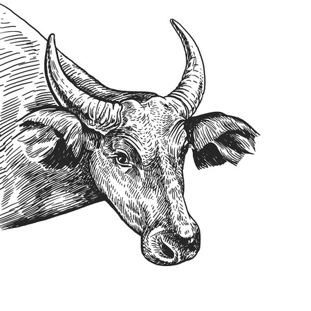 Cow. Realistic portrait of farm animal. Vintage engraving. Vector illustration art. Black and white hand drawing. Head of agricultural animal is close-up. Expressive facial expressions. Cattle series. Illustration