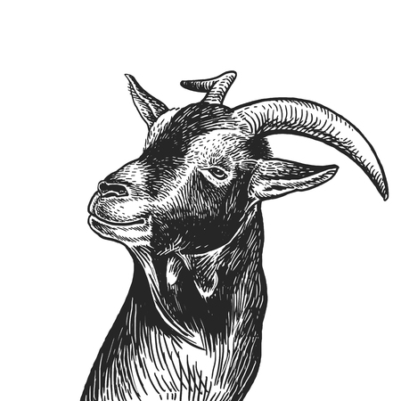 Goat. Realistic portrait of farm animal. Vintage engraving. Vector illustration art. Black and white hand drawing. Head of agricultural animal is close-up. Funny facial expressions. Cattle series.