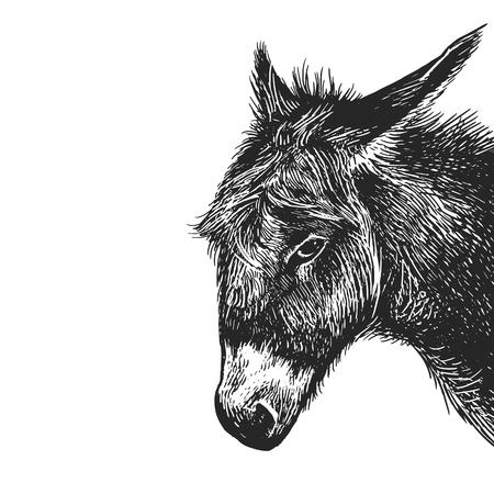 Asino. Ritratto realistico di animali da fattoria. Incisione d'epoca. Arte di illustrazione vettoriale. Disegno a mano in bianco e nero. Il capo dell'animale agricolo è primo piano. Divertenti espressioni facciali. Serie di bestiame