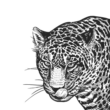 Jaguar. Realistic portrait of African animal. Vintage engraving. Vector illustration art. Black and white hand drawing. Head of Jaguar is close-up. Facial expressions of Wildlife predator. Sketch