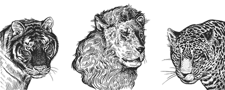 Lion, Tiger and Jaguar set. Realistic portraits of African animals. Vintage engraving. Vector illustration art. Black and white hand drawing. Facial expressions of Wildlife predator. Sketch close-up. Standard-Bild - 109633371