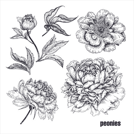 Peonies flowers realistic drawing. Sketch on white background. Vector illustration. Art Vintage. Oriental style  plant. Decoration for decor of greeting cards, interior items, texts. Black and white Ilustracja