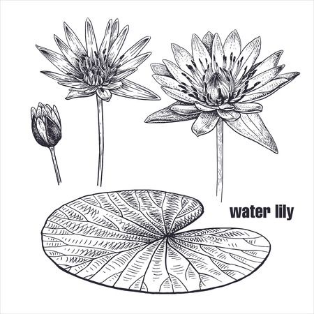 Water lily flower realistic drawing. Sketch on white background. Vector illustration. Art Vintage. Exotic plant. Decoration for decor of greeting cards, interior items, texts. Black and white