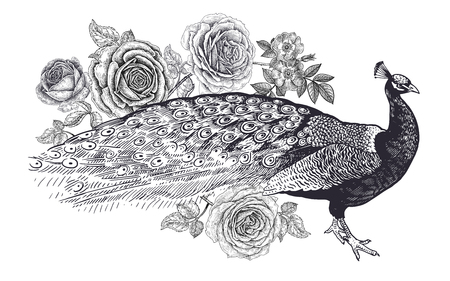 Decoration with bird and flowers. Realistic hand drawing peacock and roses isolated on white background. Vector illustration art. Black and white sketch. Vintage oriental engraving.