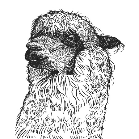 Lama. Realistic portrait of South American animal. Vintage engraving. Vector illustration art. Black and white hand drawing. Head of Lama is close-up. Facial expressions of Wildlife predator. Sketch