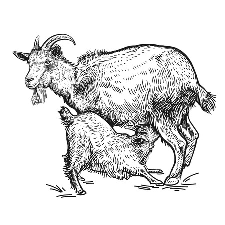 Farm animals. Goat and little goat. Isolated realistic image black on white background. Handmade drawing. Vintage sketch. Vector illustration art. Design for agricultural products, farm stores, markets