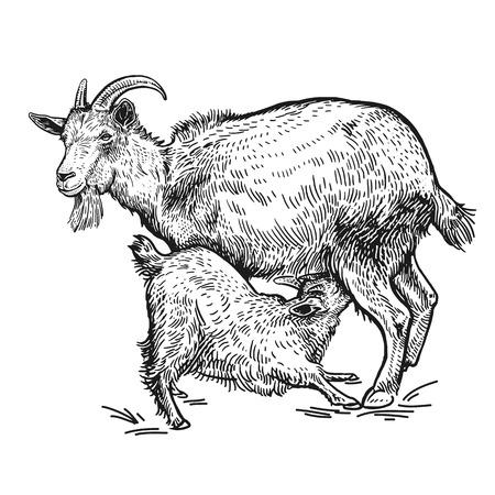 Nutztiere. Ziege und kleine Ziege. Isoliertes realistisches Bild schwarz auf weißem Hintergrund. Handgemachte Zeichnung. Vintage-Skizze. Vektorillustrationskunst. Design für landwirtschaftliche Produkte, Hofläden, Märkte