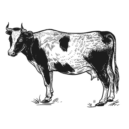 Farm animal. Cow. Isolated realistic image on white background. Handmade drawing. Vintage sketch. Vector illustration art. Black and white. Design for agricultural products, farm stores and markets