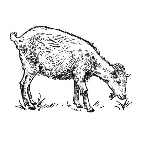 Bauernhoftier. Ziege. Lokalisiertes realistisches Bild auf weißem Hintergrund. Handgemachte Zeichnung. Vintage-Skizze. Vektorillustrationskunst. Schwarz und weiß. Design für landwirtschaftliche Produkte, Hofläden, Märkte