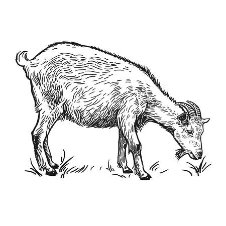 Boerderijdier. Geit. Geïsoleerd realistisch beeld op witte achtergrond. Handgemaakte tekening. Uitstekende schets. Vector illustratie kunst. Zwart en wit. Ontwerp voor landbouwproducten, boerderijwinkels, markten