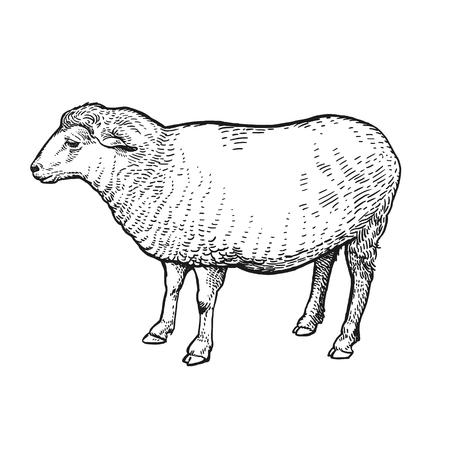 Bauernhoftier. Schaf. Lokalisiertes realistisches Bild auf weißem Hintergrund. Handgemachte Zeichnung. Vintage-Skizze. Vektorillustrationskunst. Schwarz und weiß. Design für landwirtschaftliche Produkte, Hofläden, Märkte Vektorgrafik