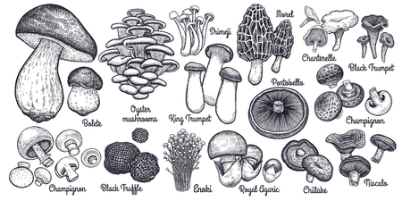 Mushrooms. Bolete, Morel, Truffle, Agaric, Shimeji, Champignon, Chanterelle, Black and King Trumpet, Oyster mushrooms, Porcini, Niscalo, Portobello, white button isolated. Vintage. Vector illustration Illustration