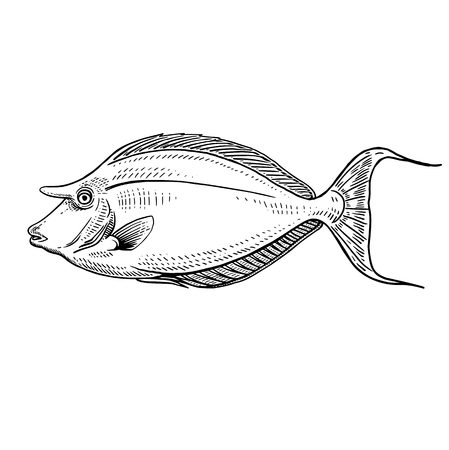 Decorative coral fish surgeon isolated on white background. Vector illustration. Animal of underwater world. Hand drawing sketch. Vintage engraving. Sea oceanic animal. Kitchen decoration Black white