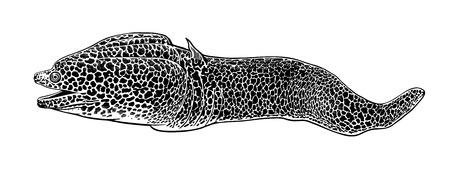 Decorative fish moray isolated on white background. Vector illustration. Predator animal underwater world. Hand drawing sketch. Vintage engraving. Sea oceanic animal. Kitchen decoration Black & white
