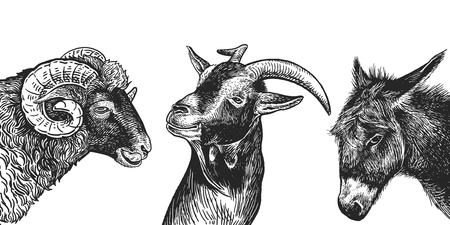 Ram, goat and donkey set. Realistic portraits of farm animals. Vintage. Vector illustration. Black and white hand drawing. Heads of agricultural animals. Funny facial expressions. Cattle series. Illustration