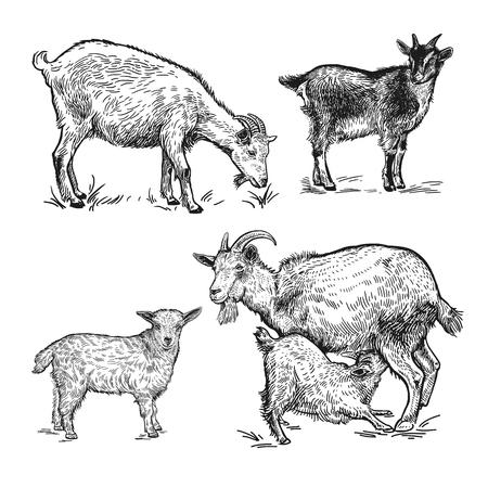 Nutztiere eingestellt. Ziegen, kleine Ziegen, Lamm. Isoliertes realistisches Bild schwarz auf weißem Hintergrund. Handgemachte Zeichnung. Jahrgang. Vektor-Illustration. Design für landwirtschaftliche Produkte, Hofläden, Märkte