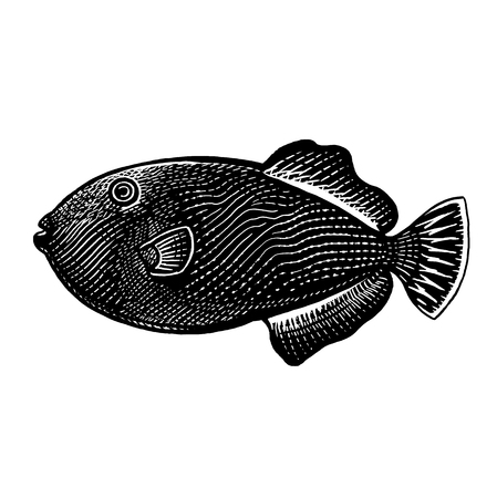 Decorative coral fish isolated on white background. Vector illustration art. Animal of underwater world. Hand drawing sketch. Vintage engraving. Sea oceanic animal. Kitchen decoration Black and white