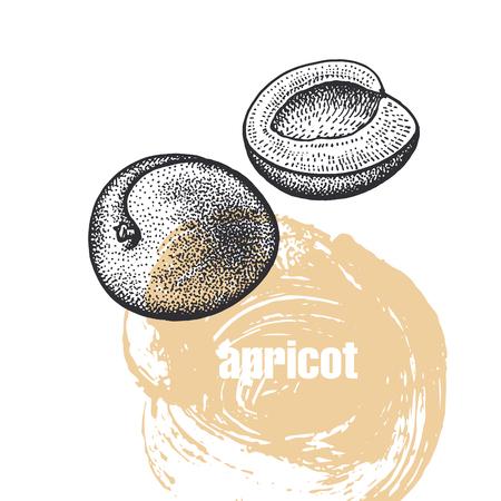 Aprikose. Realistische Vektorillustration der Frucht lokalisiert auf weißem Hintergrund. Handzeichnungsskizze. Design für ein Paket von Naturprodukten für Gesundheit und Schönheit. Vintage Schwarz-Weiß-Gravur